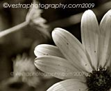 Daisy framed photo