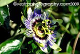 Passion Flower framed photo