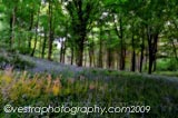 Ray Of Bluebells framed photo